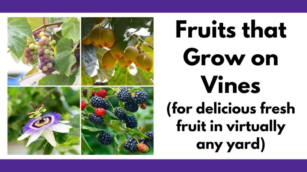 """text """"fruits that grow on vines (for delicious fruit in virtually any yard) with a 2x2 image grid of grapes, kiwi, passionflower, and blackberries"""