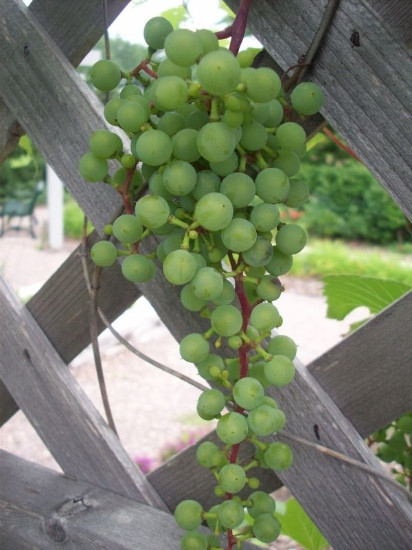 a cluster of unripe grapes hanging from wood lattice