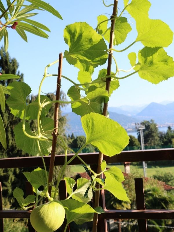 an image of a honeydew melon plant growing vertically on bamboo stakes attached to a wooden fence
