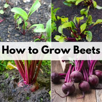 "text ""how to grow beets"" over a 2x2 image grid of beets: beet seedlings, young beet plants, a mature beet ready to harvest, and a bunch of beets pulled from the ground"