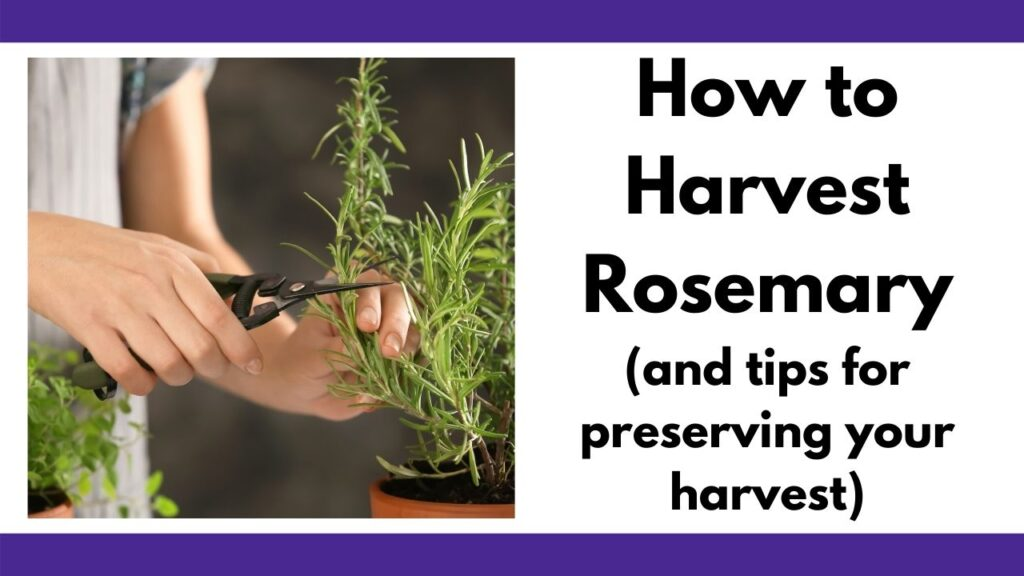 "text ""how to harvest rosemary (and tips for preserving your harvest)"" next to a picture of a woman's hands using garden snips to cut a sprig of rosemary"