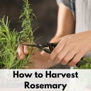 "text overlay ""how to harvest rosemary"" over a picture of a woman's hands using garden snips to cute rosemary"