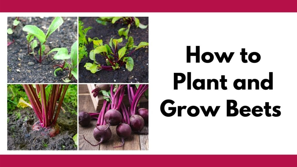 """Text """"how to plant and grow beets"""" with a 2x2 image grid of beets in the garden: beet seedlings, young plants, mature beets ready to be picked, and a bunch of picked beets"""