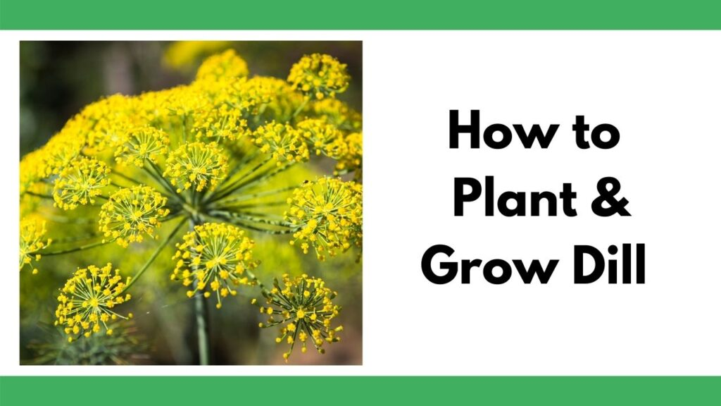 """text """"how to plant and grow dill"""" next to a close up of a flowering dill plant. Dill blossoms with clusters of small yellow flowers."""