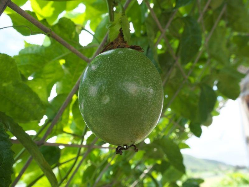 a close up of a green passionfruit growing on a trellis