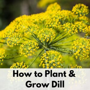 "text overlay ""how to plant and grow dill"" on a transparent white rectangle at the bottom of an image with a close up of a flowering dill plant. Dill blossoms with clusters of small yellow flowers."