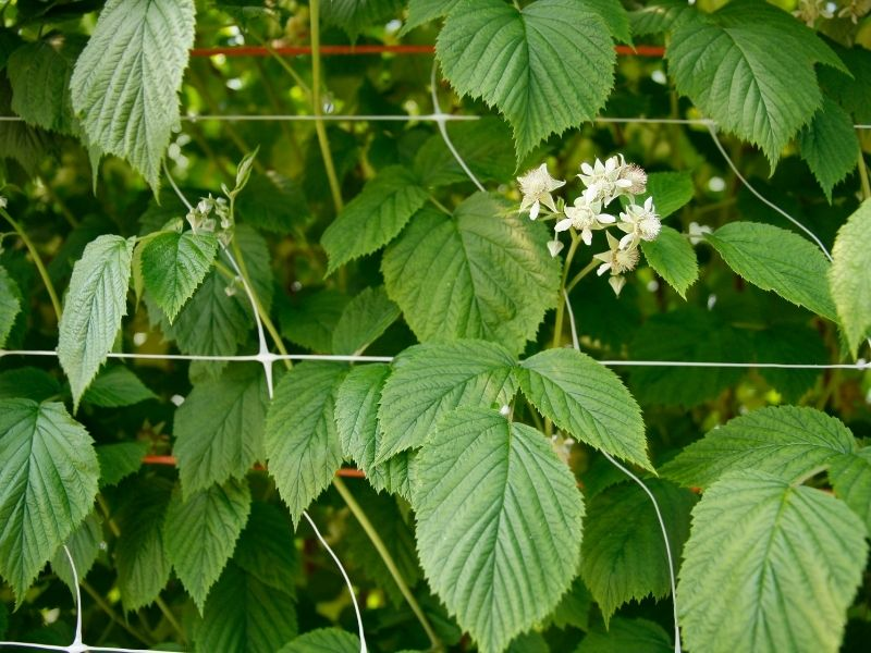 a close up shot of flowering raspberry plants growing on trellis netting