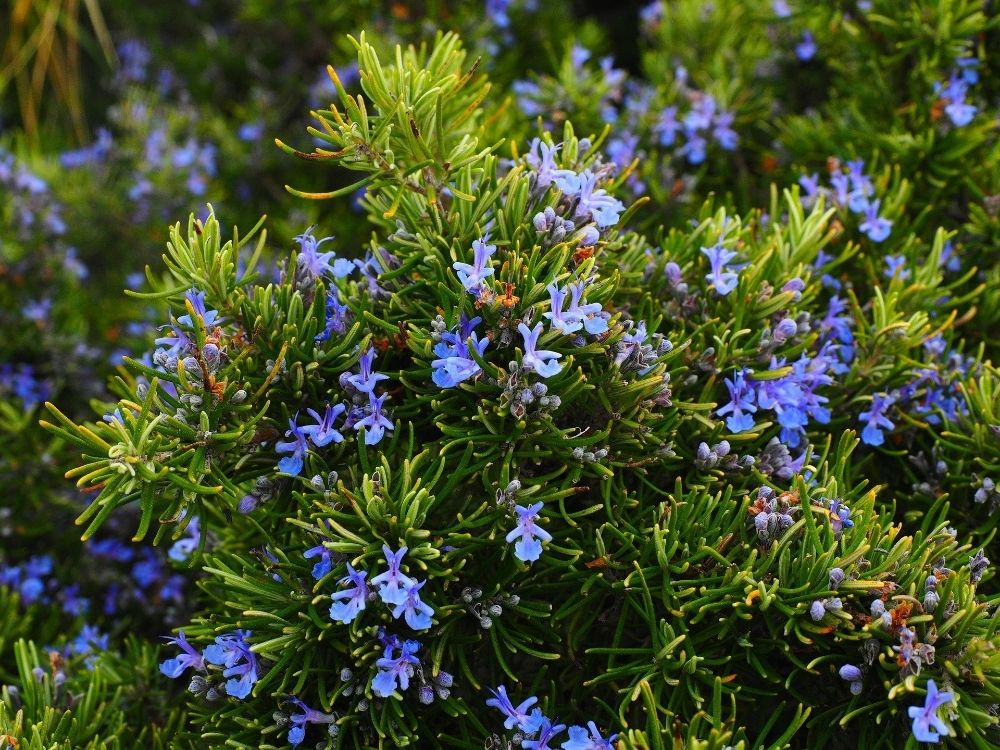 a close up of a flowering rosemary plant with small, purple blue flowers