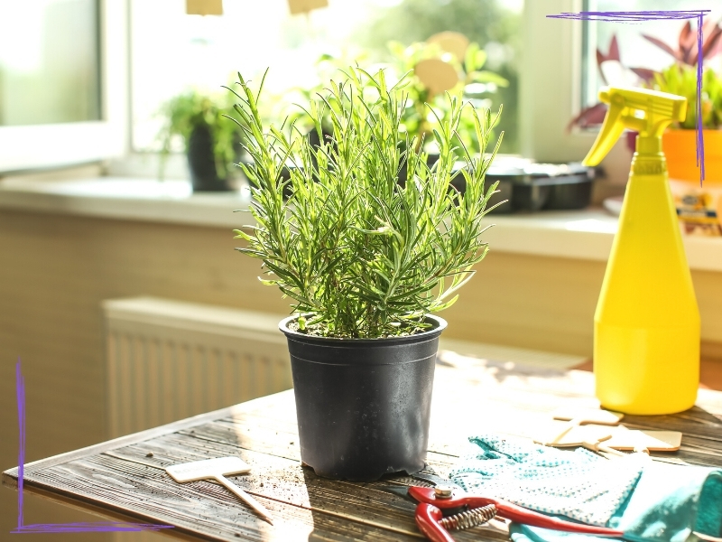 A picture of a small rosemary plant indoors. It is on a wood table with a yellow water spray bottle and some seedling trays visible in the background.