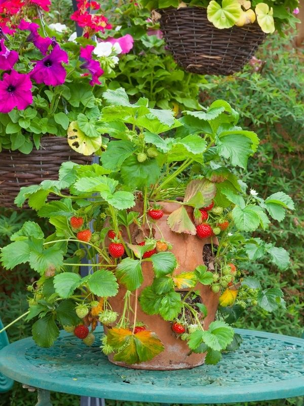 A terra cotta planter filled with strawberry plants and ripe strawberries. Pink flower are visible blooming in the background