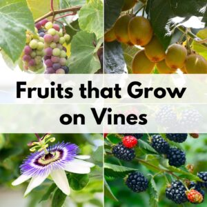 "text overlay ""fruits that grow on vines"" over a 2x2 image grid of grapes, kiwi, passionflower, and blackberries"