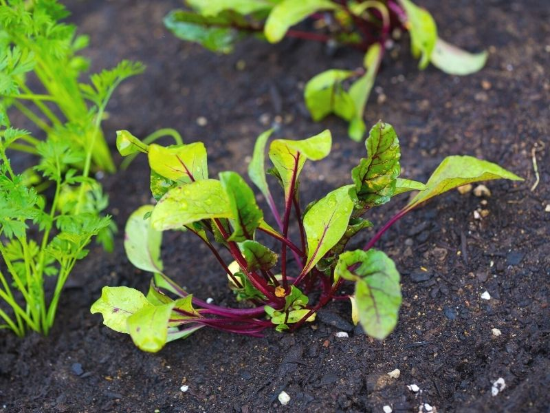 A young beet transplant in the garden. The soil is dark and moist. Another beet plant and two celery plants are partially visible in the frame.