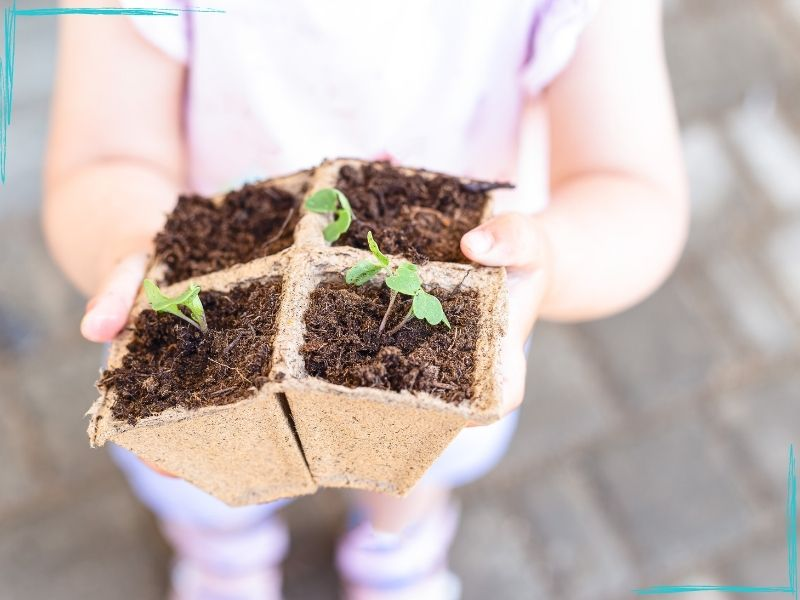 Little girl's hands holding four square peat moss seed starter cubes with small arugula seedlings