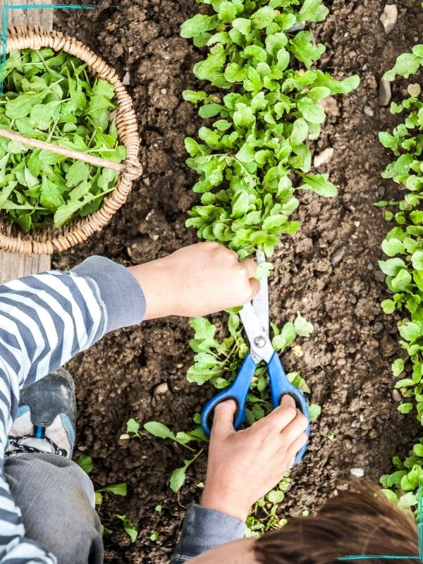 A top down view of a person cutting a row of young arugula plants off at ground level with a pair of scissors with blue handles. A basket of harvested arugula is on the left.