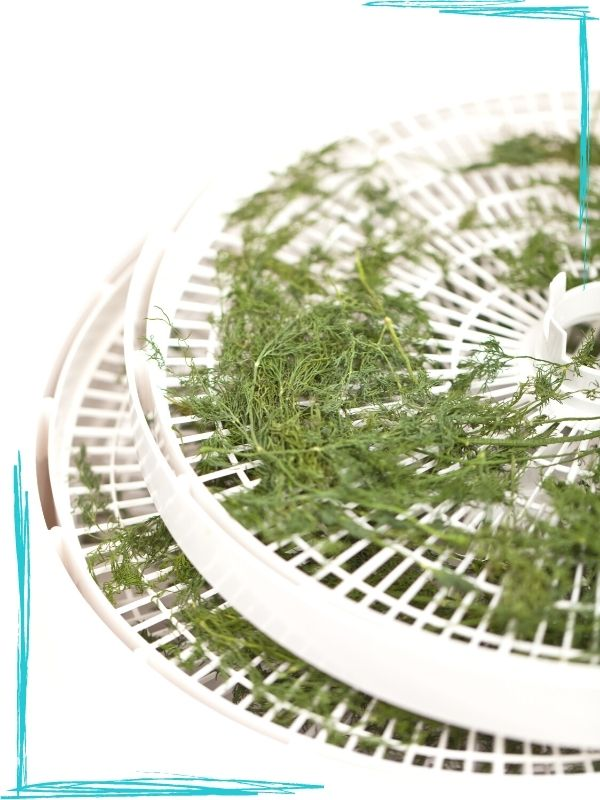 Two white round dehydrator racks on white background. The racks have drying dill branches on them.