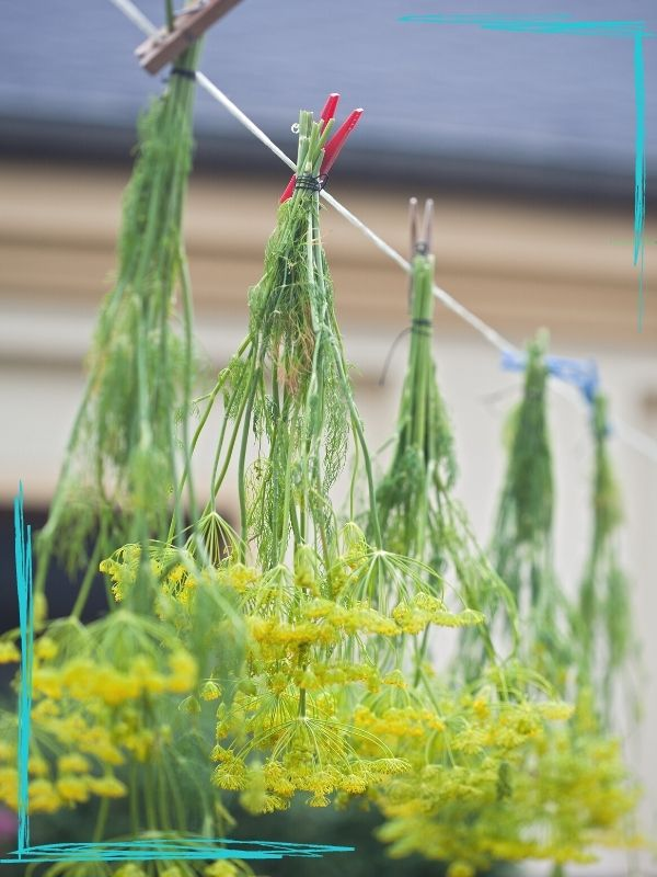 An image of bunches of dill weed with yellow flowers hanging by clothespins on a line.