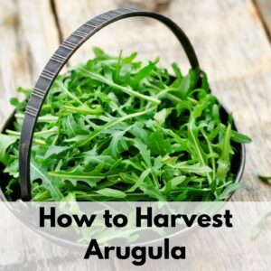 "text overlay ""how to harvest arugula"" on the bottom of an image with a small basket filled with baby arugula leaves"