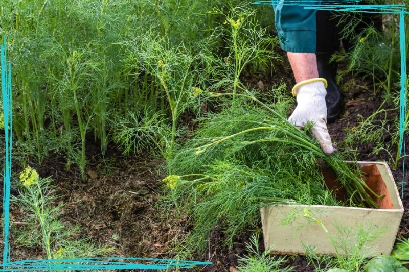 A close up of a person's gloved hands putting harvested dill plants into a wooden crate. More dill is visible in the background and the person is wearing dark green coveralls