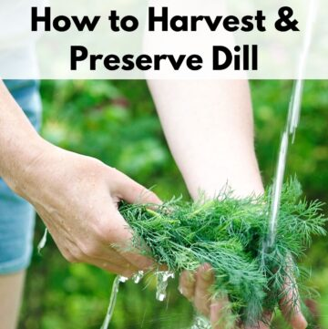 "an image of a woman's hands holding fresh dill weed under a stream of water. Above is the text overlay ""how to harvest & preserve dill"""