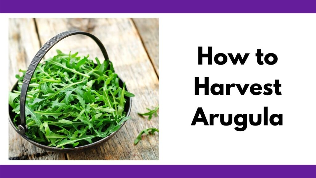 "On the right is a small basket full of baby arugula greens. On the left is the text ""how to harvest arugula"""