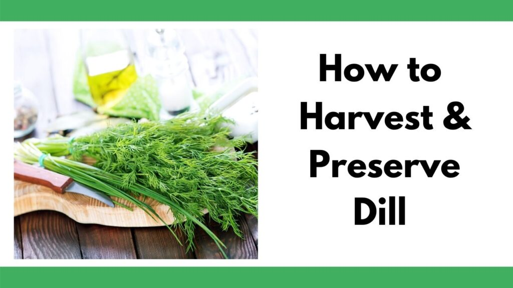 """text """"How to harvest & preserve dill"""" next to an image of dill weed on a wood cutting board next to a small knife with a curved blade"""