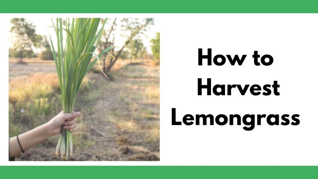 """text """"How to harvest lemongrass"""" next to an image of a woman's hand holding a clump of harvest lemongrass. There is a field in the background."""