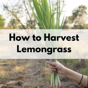 "text overlay ""how to harvest lemongrass"" in the center of an image showing a woman's hand holding a clump of lemongrass with a field in the background"
