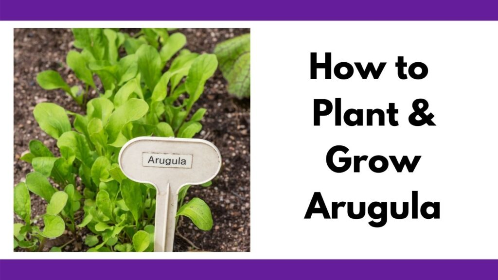 """Text """"How to plant and grow arugula"""" next to a picture of small arugula plants in a garden with a garden marker reading """"arugula"""""""