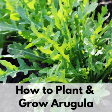 "text overlay ""how to plant & grow arugula"" over the top of a growing wild arugula plant. It looks like a dandelion, but without yellow flowers"