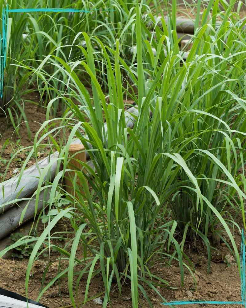 Lemongrass plants in rows in a raised bed made from two round pots placed on top of one another. Lemongrass is a large planted grass that grows in clumps several feet tall.