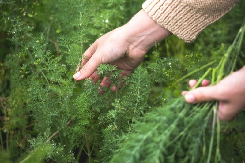 A close up image of a woman's hands picking feathery dill branches. You can see the knitted cuff of an off white seater on her right arm.