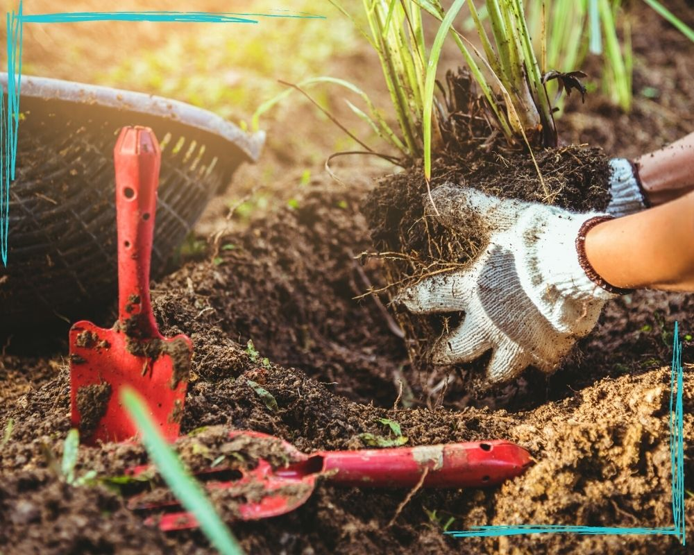 A close up of a woman's gloved hands transplanting a young lemongrass plant. A red hand rake and trowel are visible in the foreground.
