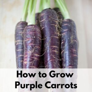 """text overlay """"how to grow purple carrots"""" over the top of a stack of purple carrots on a wood surface"""