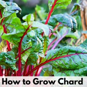 """Text overlay """"how to grow chard"""" at the bottom of a close up picture of young chard leaves growing. They have green leaves and red stems."""