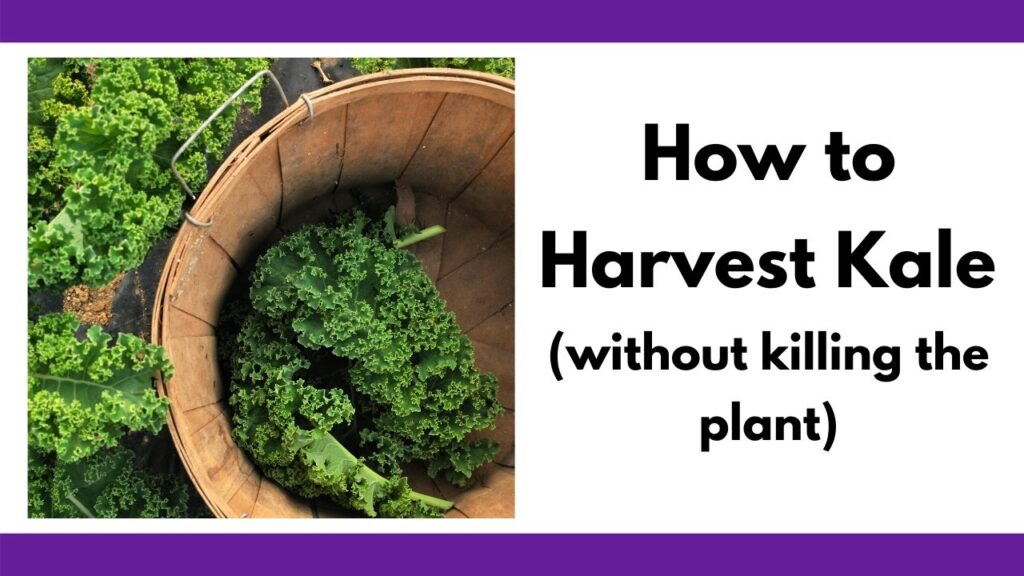 """Text """"how to harvest kale (without killing the plant)"""" next to a picture of a bushel basket with large curly kale leaves at the bottom"""