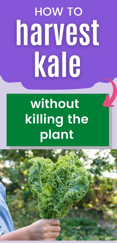 """text """"how to harvest kale without killing the plant"""" above a picture of a hand holding a bunch of freshly-picked kale"""