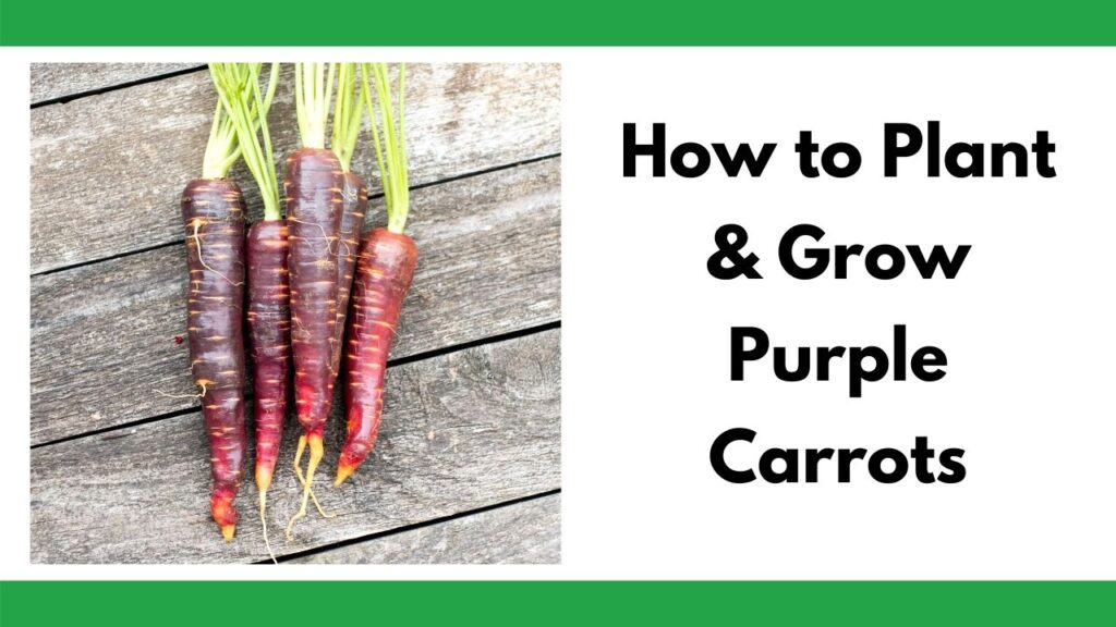 """text """"how to plant and grow purple carrots"""" on the right. On the left is an image of five purple carrots on a wood surface."""