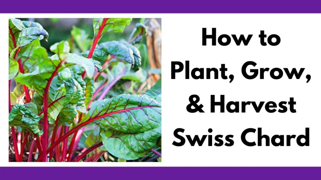 "text ""How to plant, grow, & Harvest Swiss Chard"" next to a close up picture of young chard leaves growing. They have green leaves and red stems."