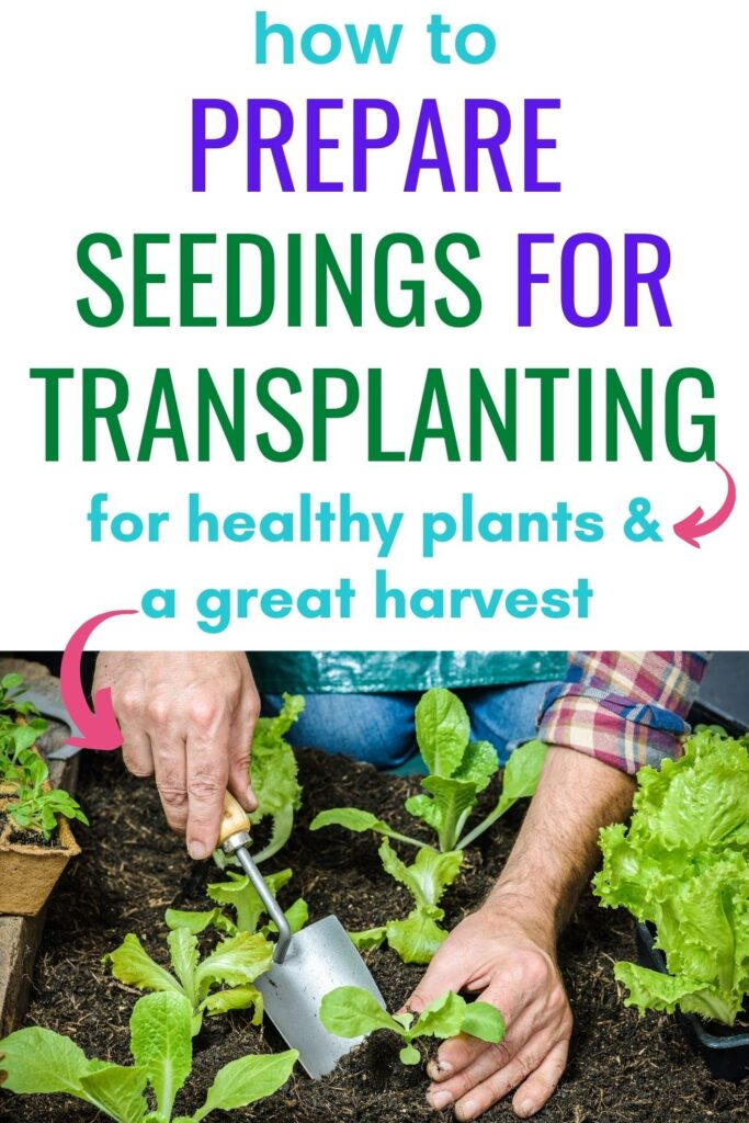 "text ""how to prepare seedlings for transplanting for healthy plants and a great harvest"" above an image of a man's hands using a garden trowel to transplant a lettuce seedling"