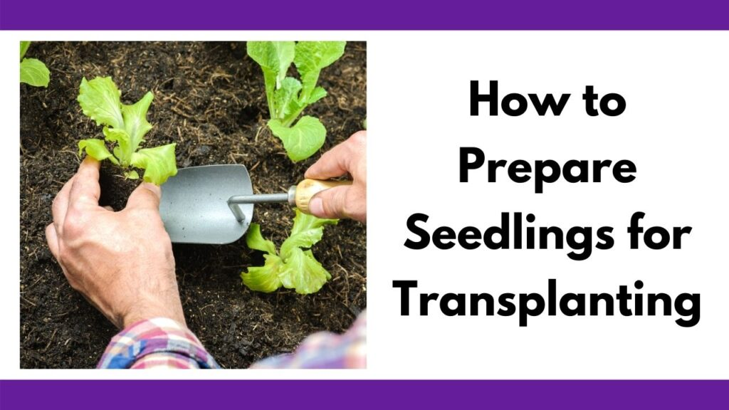 "Text ""how to prepare seedlings for transplanting"" next to an image of a mans' hands lifting a young lettuce seedling with a garden trowel."