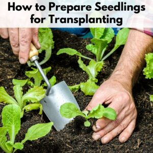 "text overlay ""how to prepare seedlings for transplanting"" over an image of hands holding a trowel planting a young lettuce in the ground"