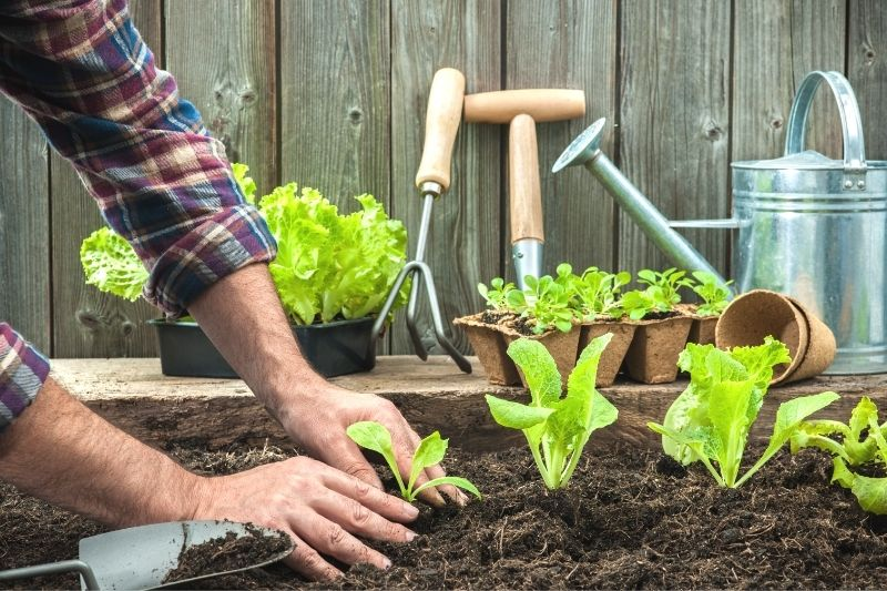 A man's hands firming the soil around a newly-planted lettuce seeding. Additional seedlings are visible with a watering can and garden tools in the background.