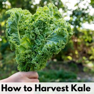 "a picture of a hand holding a bunch of kale leaves. Below is the caption ""how to harvest kale"""