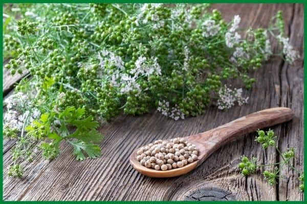 A wood spoon full of dry coriander seeds on a wood surface. Behind the spoon is a mass of green coriander seeds with a few white flowers and cilantro leaves.