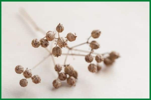 a close up of a bunch of dry, brown coriander seeds still on the stalk