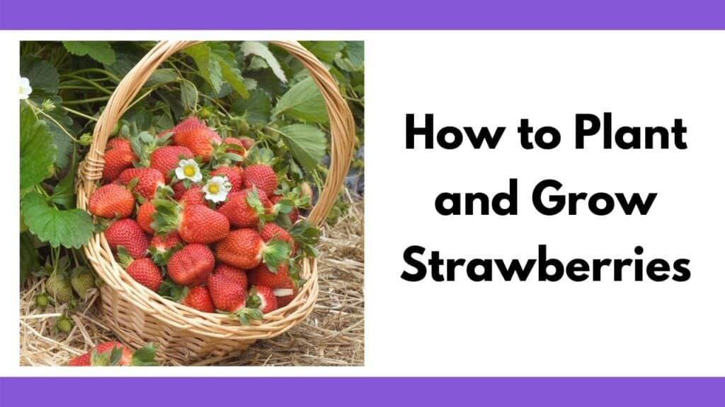 "Text ""how to plant and grow strawberries"" on the right. On the left is an image of a basket with a handle full of strawberries and blossoms. The basket is on the ground next to flowering strawberry plants."