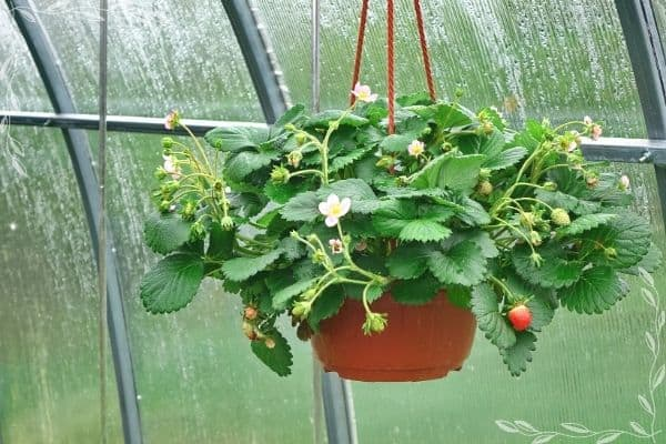 A hanging basket of strawberries in a greenhouse. The plants have both ripe fruits, green fruits, and open blossoms.