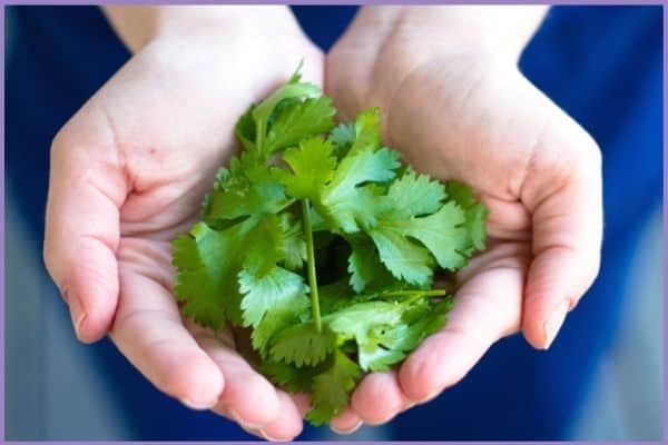 A close up of a woman's cupped hands holding cut cilantro leaves