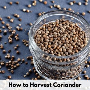 "text overlay ""how to harvest coriander"" on the bottom edge of a picture of an open 8 oz glass jar filled with coriander seed"