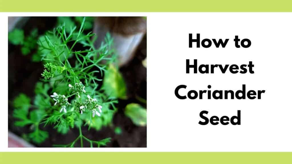 "Text ""how to harvest coriander seed"" to the right of a close up image of a flowering cilantro plant. The flowers are small, white, and feathery."